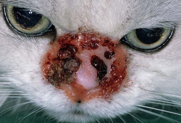 papillomatosis treatment cat