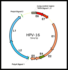 virus del papiloma faringe hpv 16 and 18 and cervical cancer
