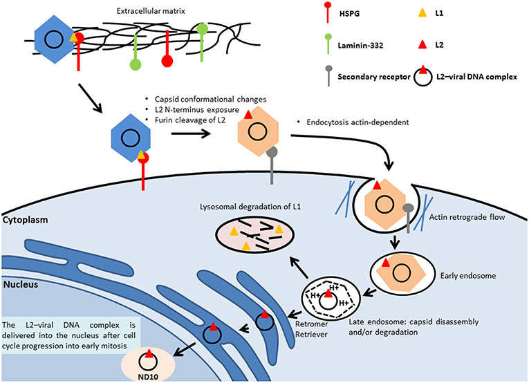human papillomavirus (hpv) has been implicated in the pathogenesis of carcinoma of which organ