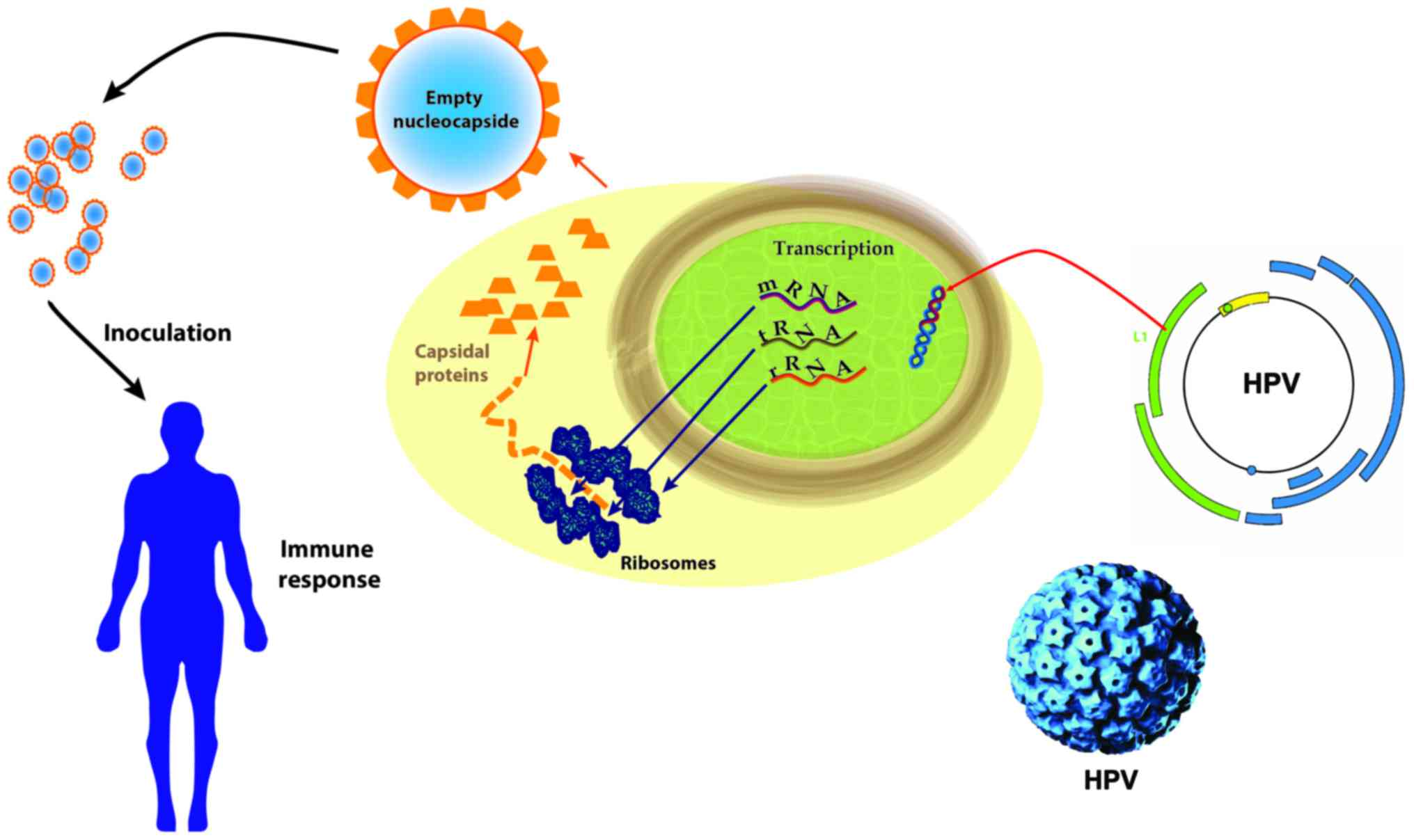 hpv cancer mechanism mass screening for human papillomavirus type 16 infection in infertile couples